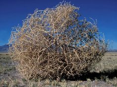 Tumbleweeds -- Desert Plant Pictures, Wallpapers, Downloads -- National Geographic