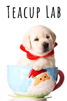 teacup lab Fun Facts About Dogs, Dog Facts, Cute Labrador Puppies, Dog Health Tips, Puppy Names, Dog Care Tips, Dog Behavior, Dog Quotes, Dog Owners