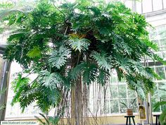 A Philodendron bipinnatifidum Tropical Garden Design, Tropical Plants, House Plants Decor, Plant Decor, Ferns Garden, Jungle Gardens, Inside Garden, Plant Aesthetic, Plant Images