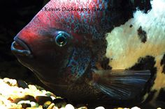 Marbled Fenestratus - Vieja sp Kevin Dickinson fine art photography,  buy fish photograph, buy fish art