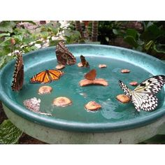 Make your own Butterfly Feeder~ Butterflies like a variety of food sources, especially overripe fruit and rotting vegetation. If you own an apple, plum, cherry or pear tree, allow fallen fruit to ferment on the ground to create a favorite feeding spot. Look in the quick-sale area of your grocer's produce for overly ripe fruit. Consider saving extra bananas in the freezer, which you can defrost and place in a feeder at any time.  (continued below)