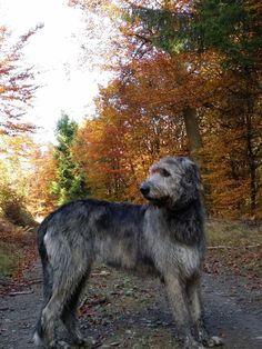 Irish Wolfhound*