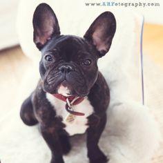 French Bulldog Frenchie West Elm Herman Miller