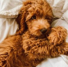 Dog And Puppies Together .Dog And Puppies Together Cute Little Puppies, Cute Dogs And Puppies, I Love Dogs, Fluffy Puppies, Doggies, Cavapoo Puppies, Mini Goldendoodle, Goldendoodles, Labradoodles