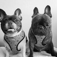 Pierre and Remy, French Bulldogs❤❤ pierrebrando | Portfolio