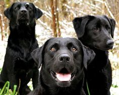 #Black #Labrador