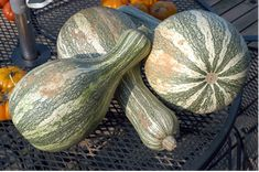 """Doing my bit for the Slow Food Ark of Taste by growing a couple of hills of Green-striped Cushaws, a.k.a. """"Tennessee Sweet Potato"""" squash"""