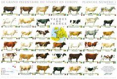 Races de vaches de France