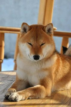 """I like the porch, it's quiet and all mine!"" #dogs #pets #ShibaInus Facebook.com/sodoggonefunny"