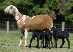 Cordeiros (Bahia) Brasile | Pesquisa mapeia as principais doenças de caprinos e ovinos no Brasil ...