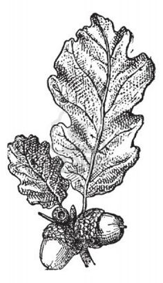 Acorn or Oak nut with leaves, vintage engraved illustration. Dictionary of words and things - Larive and Fleury - 1895. Stock Photo
