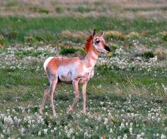 Sonoran Pronghorn Fawn, lives exclusively in the Sonoran Desert of Arizona and Sonora. Photo credit Larry Lamsa