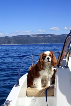 Cavalier King Charles Spaniel (Blenheim) - Paco in Croazia