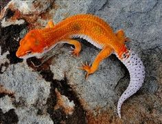 Leopard Gecko Morphs | visit leopardgeckosforsale com  TANGERINE!  THESE GUYS MORPH INTO BEAUTIFUL COLORS!