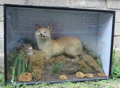 Taxidermy A Fox with prey in wooden glazed case by ShireCurios