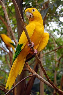The Golden Parakeet or Golden Conure, is 34 cm (13 in) long [8] and mainly yellow with green in outer wings and with an all-yellow tail. It has a large horn-coloured beak, pale-pink bare eye-rings, brown irises, and pink legs.