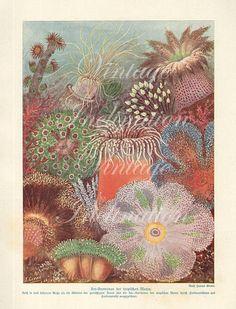 Reproduction Natural History Conchology Print #14