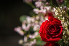 Roses are Red...  #flowers #rose #photography