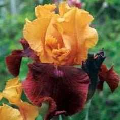 Supreme Sultan German Iris. Mb