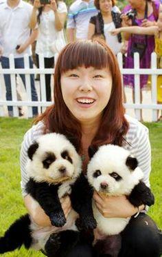 Omg chow chow panda puppies!!!