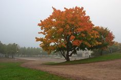 vaahtera/ maple tree