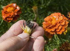 Arracher et récolter les graines d'oeillet d'Inde pour les planter l'année suivante