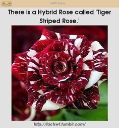 Tiger Striped Rose!! Gorgeous!!