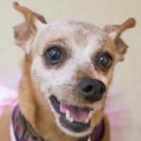 Cute Muttville mutt: Lil Jude 2382 (Min pin mix | Female | Size: small (6-20 lbs))