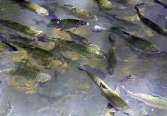 1000 images about st james mo on pinterest james d for Fish hatchery missouri