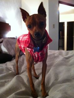 my name is Luther! and i'm a red mini pinscher! :D