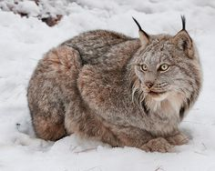 White Wolf : 15 Photos That Will Make You Fall In Love With Canada Lynx