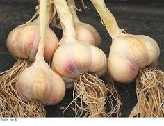 ΤΟ ΗΞEΡΕΣ;;; Η Πυθαγόρεια Διατροφή εξαφανίζει το 95% των ασθενειών! Δες τι πρέπει να τρως!!! (PHOTOS) When To Harvest Garlic, Harvesting Garlic, Garlic Health Benefits, Garlic Bulb, Seafood Pasta, Fruit Garden, Raw Vegan, Sprouts, Plant Based