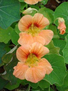 peach colored nasturtium