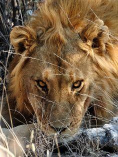 Lion in Etosha | Flickr - Photo Sharing!