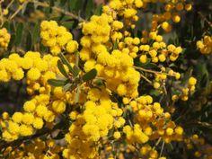 Acacia uncifera  Mimosaceae  Winter in Nth. Qld