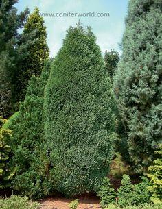 Chamaecyparis lawsoniana Pottenii Conifer Trees, Garden, Plants, Garten, Gardening, Plant, Outdoor, Gardens, Yard