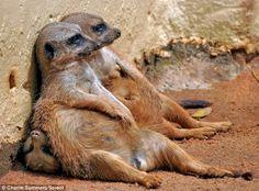 Meerkats - they make me laugh!