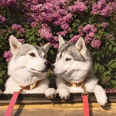 Huskys kissing