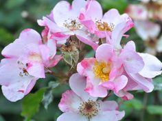 Denne rose hedder Rosa Rosy Cushion og er super populær i England lige nu. Den danner store, brede planter med et væld af små, yndige blomster. Perfekt til den naturlige have!