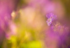 Geranium sylvaticum | by oisandbufoto | http://ift.tt/2aR0Iui