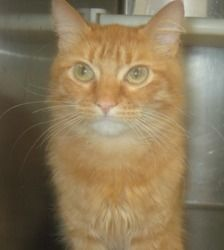 Steve is an adoptable Domestic Medium Hair Cat in Carrollton, GA. THE ADOPTION FEE FOR CATS AND KITTENS DURING THE JULY SHELTER ANIMAL EXTRAVAGANZA  WILL BE $50, INSTEAD OF THE USUAL $95, IF YOU BRING...