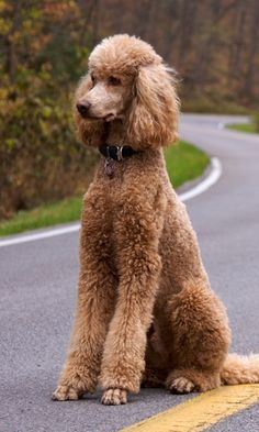 Wallpaper dog, poodle, curly, road - Dogs With Brian Poodle Grooming, Dog Grooming, Wallpaper 480x800, Cute Puppies, Cute Dogs, Poodle Haircut Styles, Poodle Cuts, Red Poodles, Dog Names