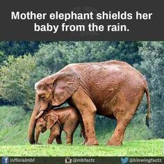Asian Elephant, Elephant Love, Beautiful Creatures, Animals Beautiful, Baby Animals, Cute Animals, Wild Animals, Elephant Facts, Water For Elephants
