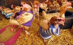 d52b56f18 Five Reasons to Knit Chicken Sweaters By Jenn Dixon (pattern free)
