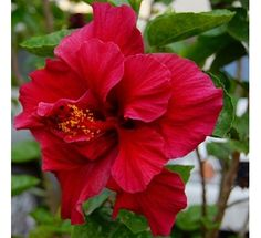 Hibiscus Red Double250