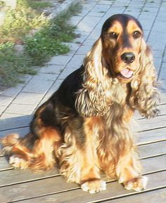 English Cocker Spaniel Information and Reviews