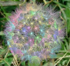 Rainbow Dandelion Puff -- this is very pretty, but I suspect that it's been colored via photo-shop. Dandelion Clock, Dandelion Wish, Dandelion Flower, Deco Floral, Pretty Pastel, Rainbow Colors, Rainbow Things, Rainbow Flowers, Flower Power
