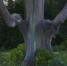 Unique shaped Rainbow Eucalyptus in a small eucalyptus grove on way to Hana, Maui What gorgeous trees. L Eucalyptus, Eucalyptus Species, Rainbow Eucalyptus Tree, Unique Trees, Colorful Trees, Belleza Natural, Belle Photo, Amazing Nature, Tree Of Life