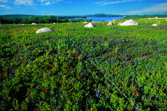 Blueberry barrens in Maine. (Photo: Wild Blueberry Association of North America)