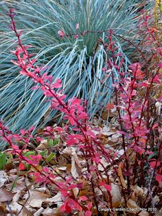 blue oat grass (Helictotrichon sempervirens) with barberry 'Rose Glow' (Berberis thunbergii 'Rose Glow'), fall